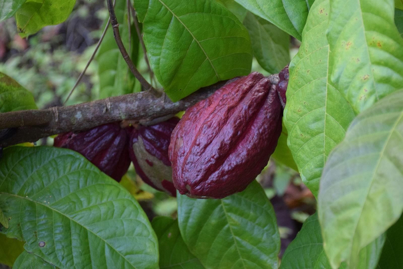 Gras Kakao